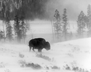 Blowing snow creates this photo opportunity, Bison in Lamar Valley.