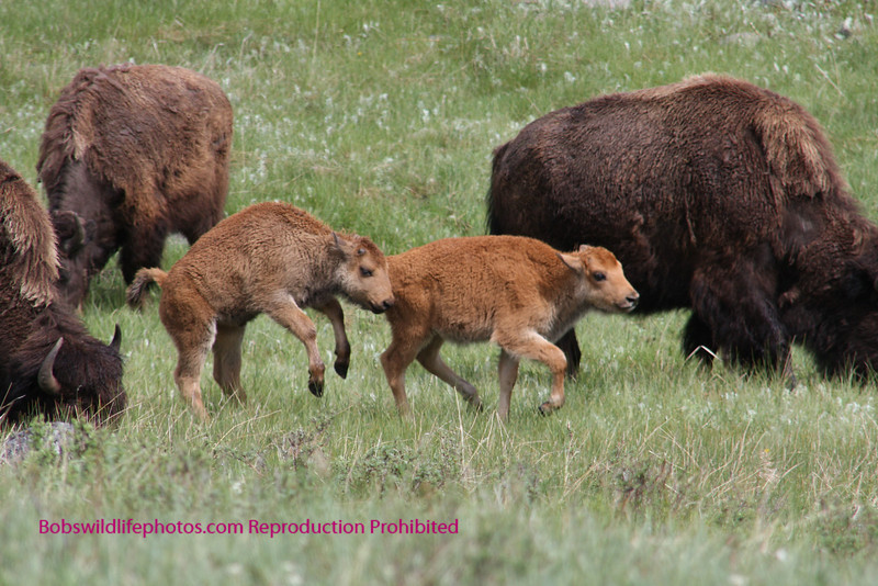 """These two young bison also called """"yellow dogs"""" not sure why other then color are enjoying spring in the park."""