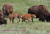 "These two young bison also called ""yellow dogs"" not sure why other then color are enjoying spring in the park."