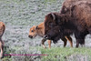 This young bison and his mom were photographed in little america YNP