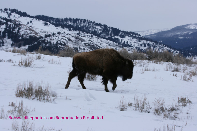 Bison in Yellowstone.