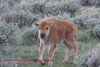 A fuzzy calf looks at Sherry.