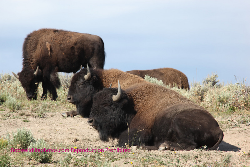 These guys moved in on the far side of the road at grizzly point, as we were photographing the canyon pack.