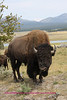 Bison photo taken in hayden valley YNP