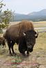 Bison photo taken in hayden valley YNP