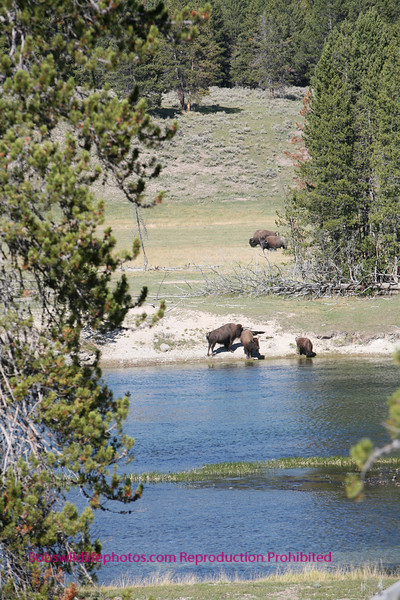 Bison near the entrance to hayden valley.