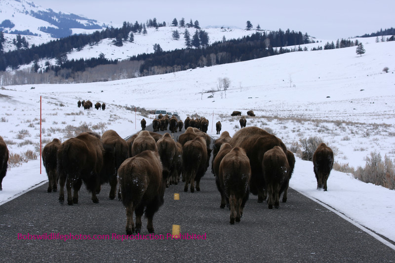 Road block in Yellowstone. Also called a bison jam. The bison use the road to conserve energy when moving any distance.