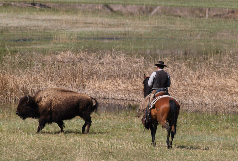 BB 09MY6184<br /> <br /> Park Rangers were moving approximately 200 head of bison that had wandered out of Yellowstone Park back into the Park.