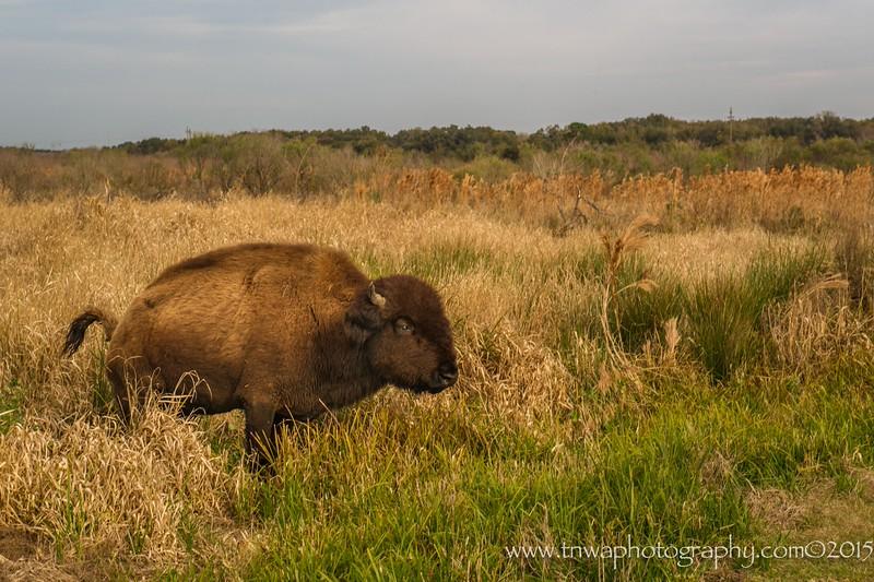 Wild Bison Roam Freely<br /> Paynes Prairie National Wildlife Refuge<br /> Alachua, Florida<br /> © 2015  TNWA Photography / Debbie Tubridy