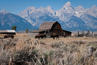 Buffalo roaming along Mormon Row Grand Teton National Park Wyoming © 2010