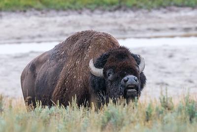 Bugling Bull I