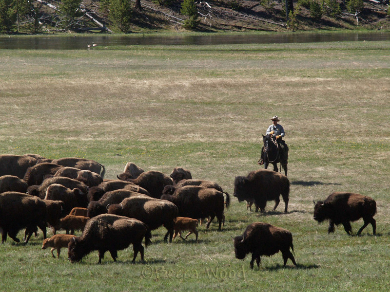 BB 09MY3853<br /> <br /> Park Rangers moving the bison further into the Park.