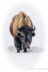 The Face of Winter Bison - Yellowstone National Park Wyoming © 2014