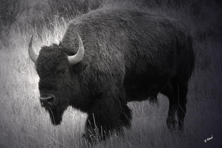 BB 06SP1060 Bison (Bison bison).