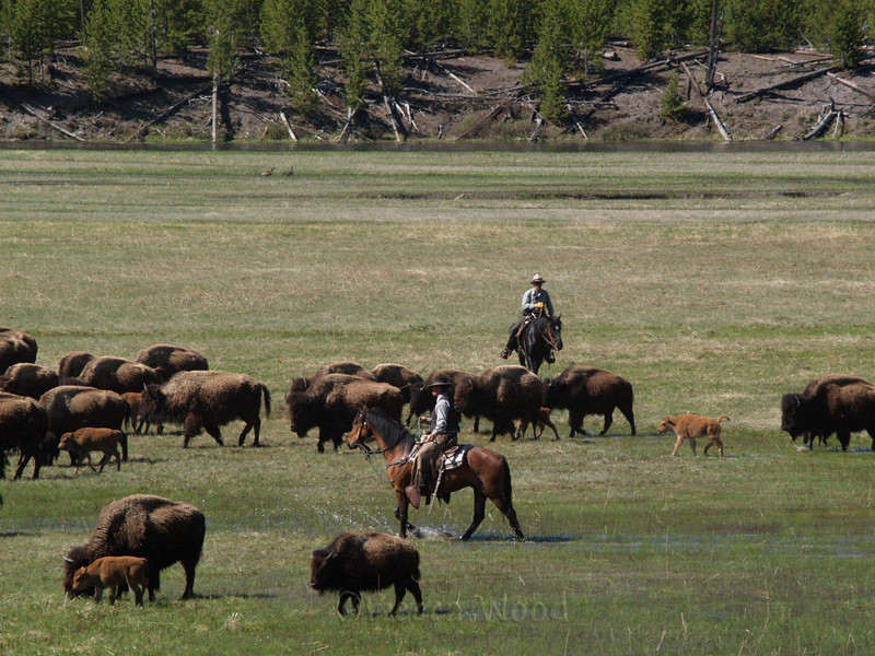 BB 09MY3851<br /> <br /> Park Rangers moving bison further into the Park.  They had gathered this herd and moved them back into the Park and were pushing them further in to make room for the next herd.