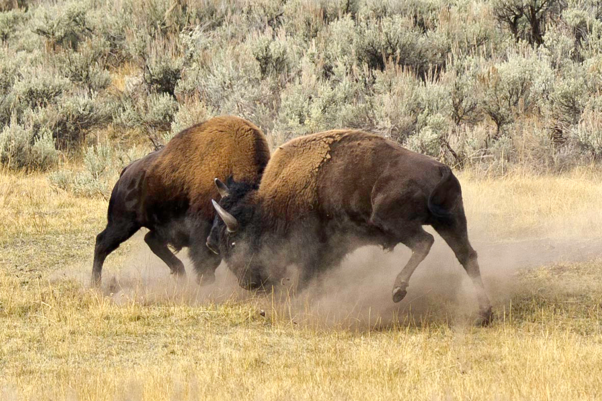 Male Bison Fight For Dominance Hayden Valley, Yellowstone National Park Wyoming © 2012
