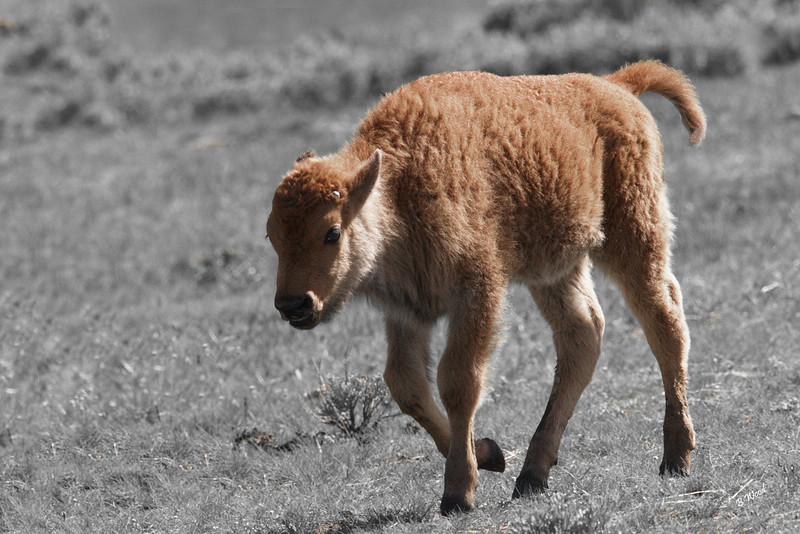 BB 06MY5033b Bison (Bison bison).