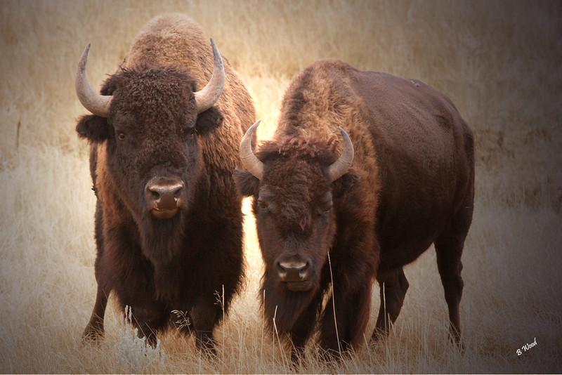 BB 06SP1036b Bison (Bison bison).