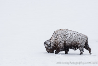 Frosty Bison