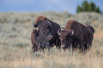 Image result for bison talking