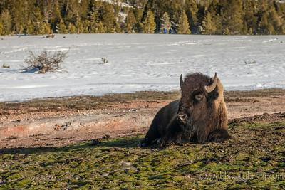 Bison Basks In The Sun Old Faithful Geyser Basin Yellowstone National Park, Wyoming © 2014