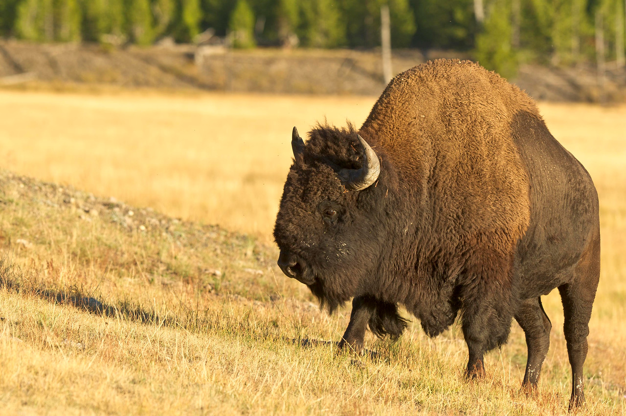 Bison Grazing Yellowstone National Park - Madison area Wyoming © 2012