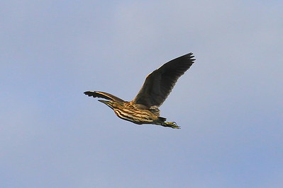 American Bittern in flight