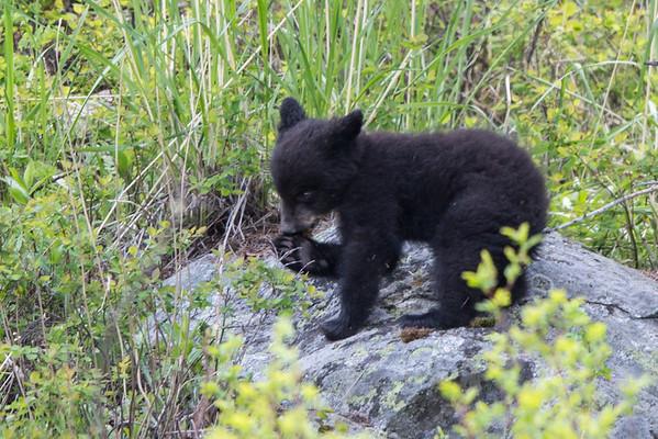 Black Bear Cub III