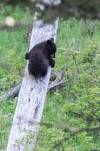 Black Bear Cub VI