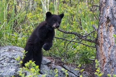 Black Bear Cub I