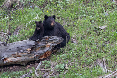 Black Bear Sow and Cub VI