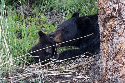 Black Bear Sow and Cub I