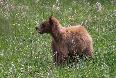 Black Bear Sow and Yearlings (Family II) (May 31, 2015)