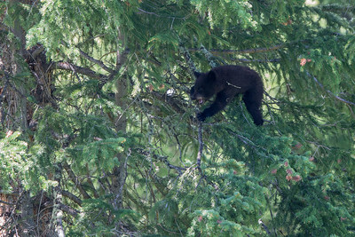 Black Bear Cub VIII