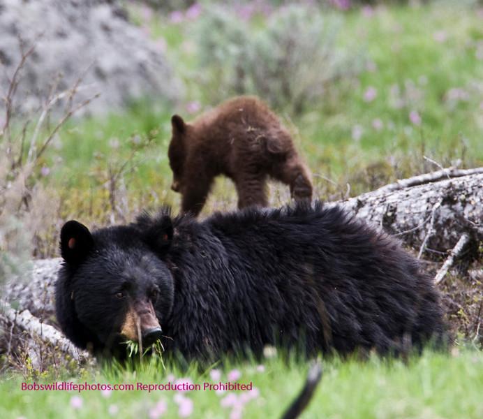 Bears Yellowstone Black_0644