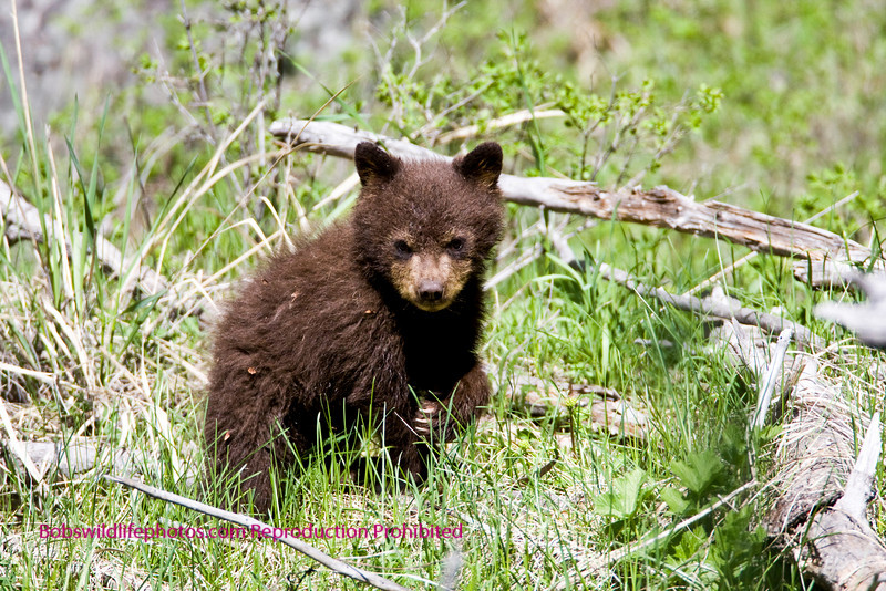 Bear Yellowstone Black cub