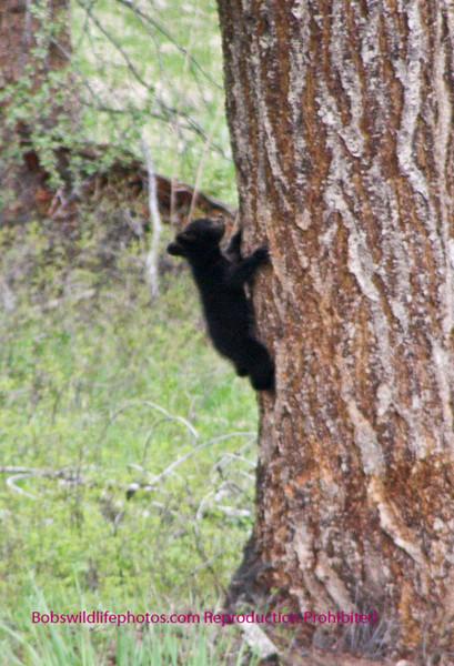 Bears Yellowstone Black_0641