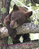 This young cub along with his mother, another beautiful cinnamon bear, and a black sibling were  in a tree just west of the Africa lake turn out on the road from mammouth to swan lake flats. We saw them a second time down by the lake and they walked up crossing the road at the turn out.