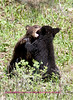 Bear Yellowstone Balck two cubs