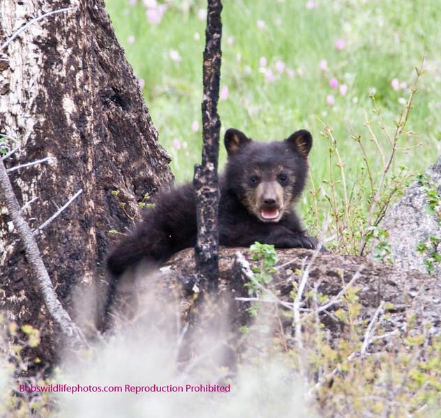 Bears Yellowstone Black_0640