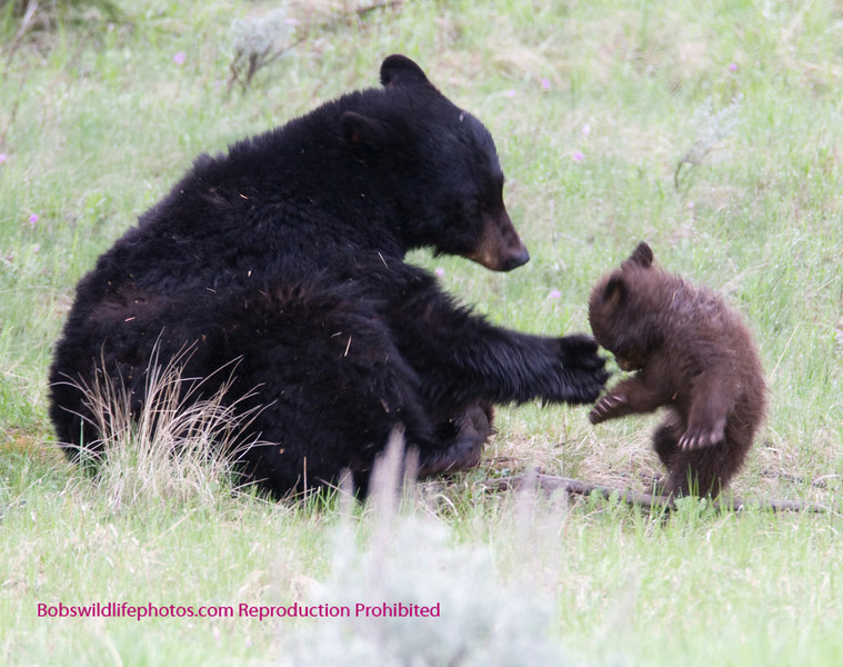 Bear Yellowstone Black disapline