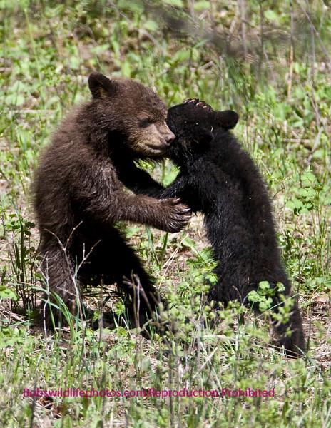 Bears Yellowstone Black_06518 5