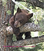 This photo was taken near  Afarica lake in Yellowstone National Park. The cub was part of a family group consisting of this cinnamon, a black cub and the mother also cinnamon. The cinnamon cub was very adventurous, as can be seen in some of the following photos.