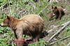 This photo of a good looking black bear and cub was taken near the Grizzly lake trail head in YNP.