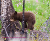 Bears Yellowstone Black_0642