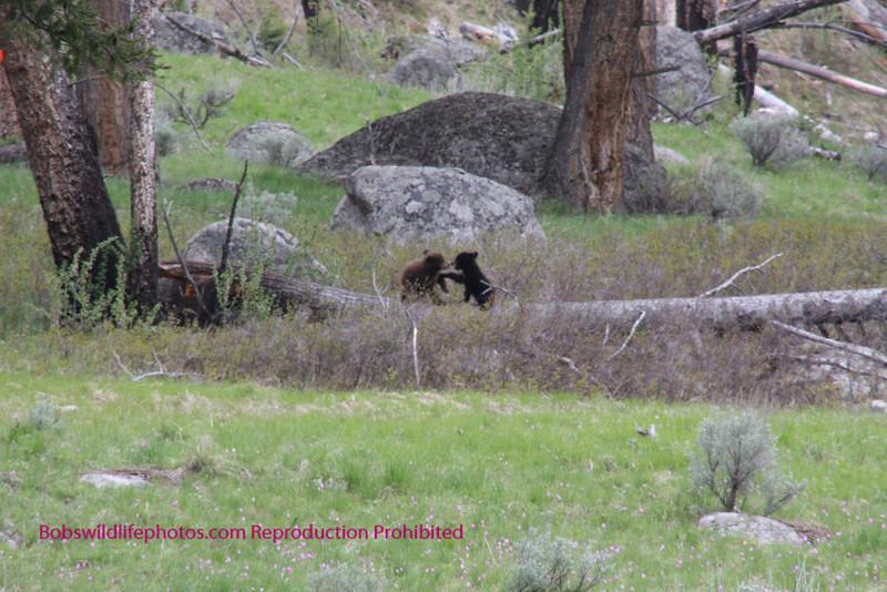 Bears Yellowstone Black_0649