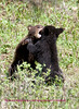 Bears Yellowstone Black_0654