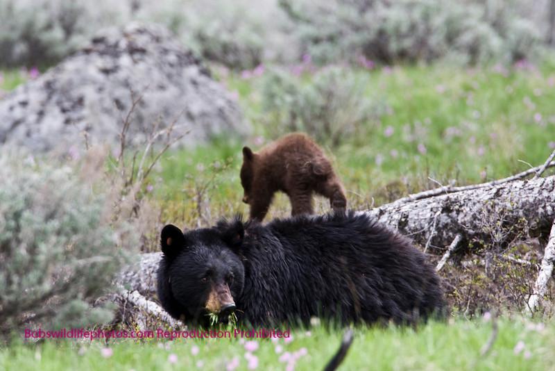 Bear Yellowstone cub on fallen tree
