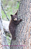 Bears Yellowstone Black_0647