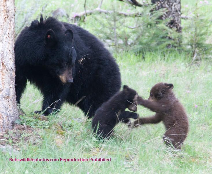 Bear Yellowstone Balck mom watches